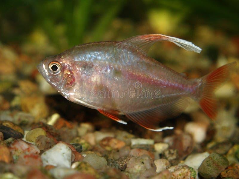 Peixes do aquário fotografia de stock royalty free