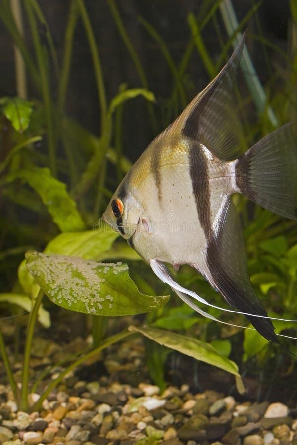 Peixes do aquário fotografia de stock