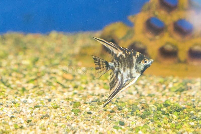 Peixes do aquário de um scalar em um aquário imagens de stock royalty free