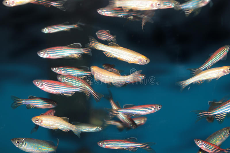 Peixes do aquário de Zebrafish (rerio do Danio) foto de stock royalty free