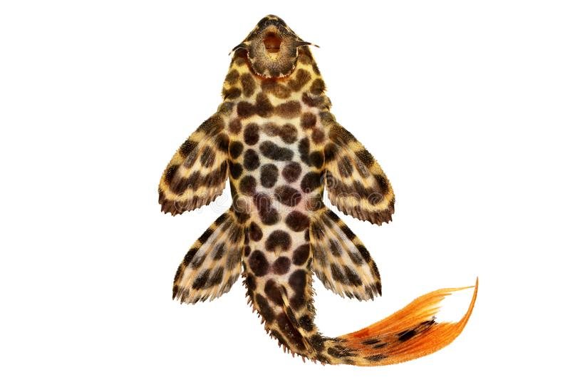 Peixes do aquário do leopardus de Pleco Pseudacanthicus do cacto do leopardo imagens de stock