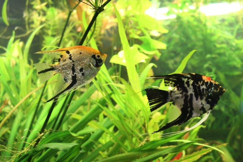 Peixes do aquário: pares de esquatina na água entre algas imagens de stock royalty free
