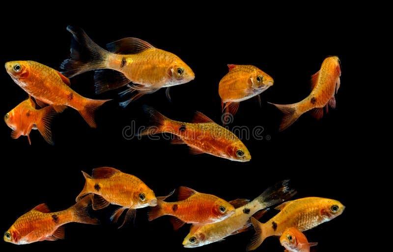 Peixes do aquário, Rosy Barb fotografia de stock royalty free