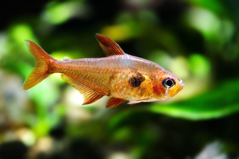 Peixes do aquário Rosy Tetra Tanque da natureza Tanque de água doce Um aquário de água doce plantado bonito das hortaliças com Te imagem de stock royalty free
