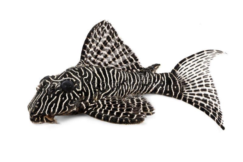 Peixes do aquário do sp Plecostomus de Hypostomus do Arabesque da rainha do peixe-gato L-260 de Pleco fotos de stock royalty free