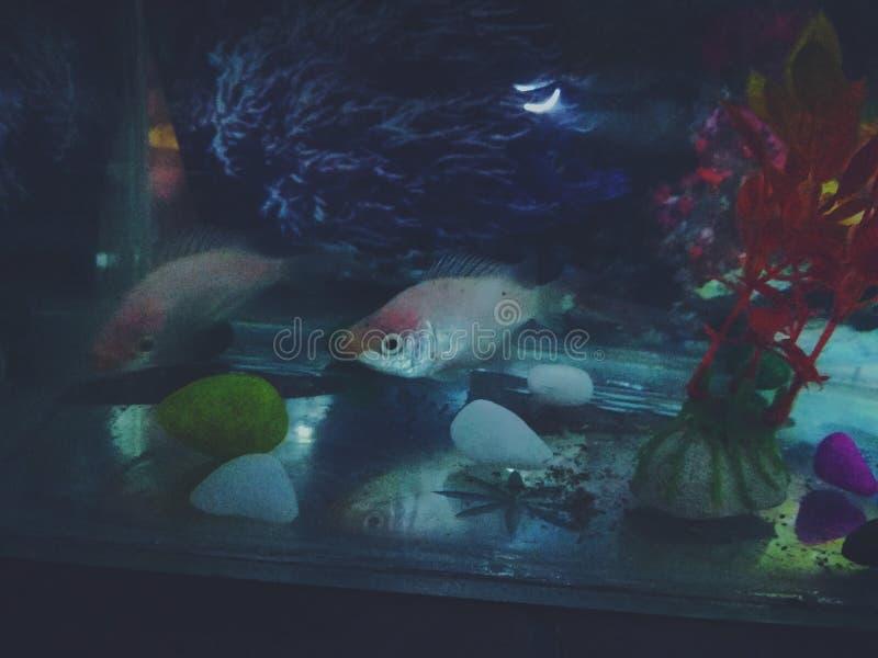 Peixes do aqu?rio imagens de stock