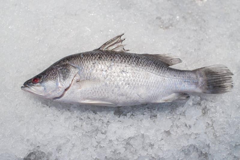 Peixes do badejo no gelo esmagado foto de stock royalty free
