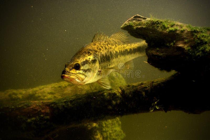 Peixes do baixo Largemouth no lago foto de stock