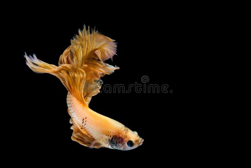 Peixes do betta do ouro amarelo imagem de stock