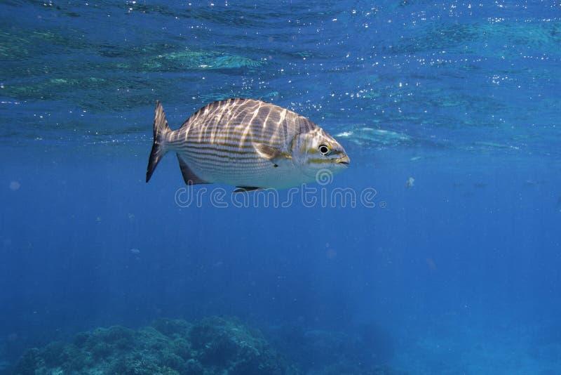 Peixes do caboz fotos de stock