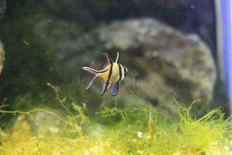 Peixes do cardeal de Banggai imagens de stock royalty free
