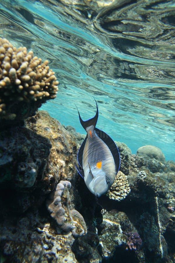 Peixes do cirurgião do Mar Vermelho foto de stock royalty free