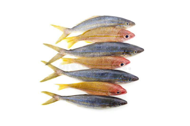 Peixes do corredor de arco-íris com os peixes da caranga do yellowstripe isolados em w fotos de stock royalty free