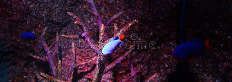 Peixes do diabo azul foto de stock royalty free