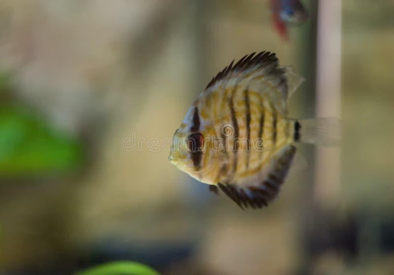 Peixes do disco com fundo do aquário DOF raso Symphysodon, imagens de stock royalty free