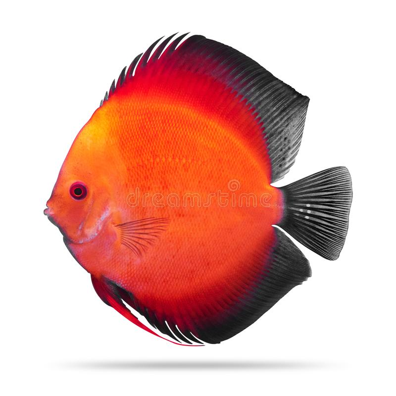 Peixes do disco isolados no fundo branco pompadour Trajeto de grampeamento imagem de stock