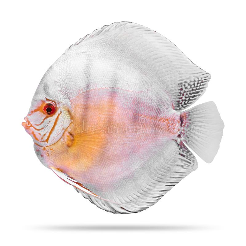Peixes do disco isolados no fundo branco Trajeto de grampeamento fotografia de stock