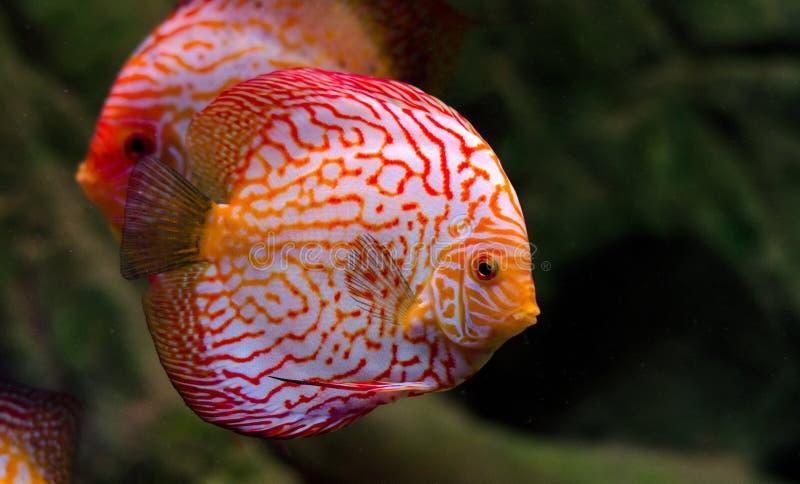 Peixes do disco que flutuam no aquário Peixes de água doce no aquário da casa Peixes grandes para sua decoração da casa imagens de stock royalty free