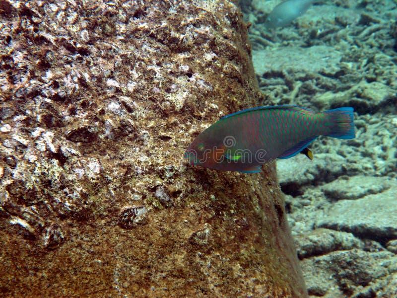 Peixes do disparador que encontram o alimento foto de stock royalty free