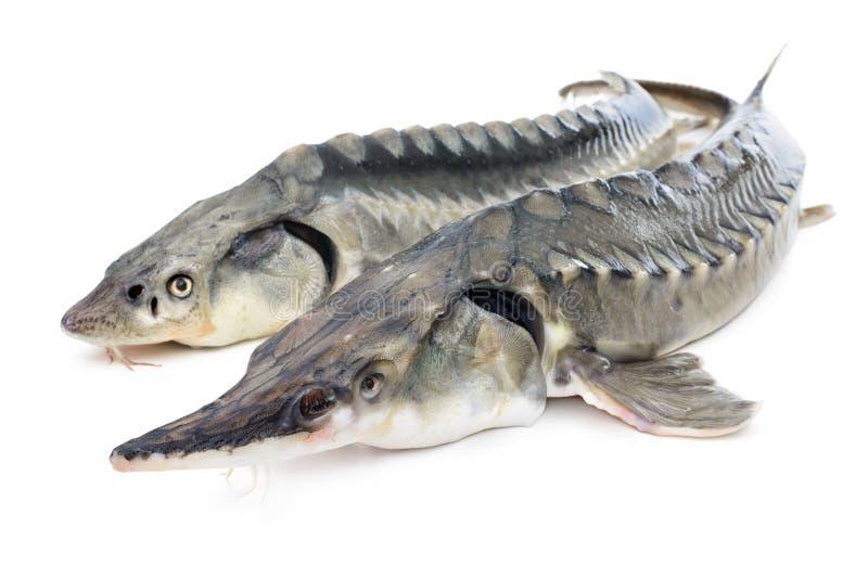 Peixes do esturjão fotografia de stock royalty free
