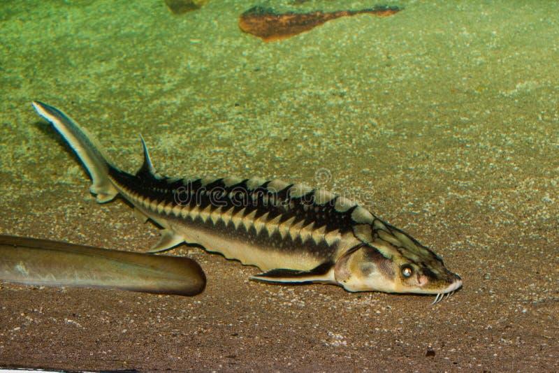Peixes do esturjão de Danúbio imagem de stock royalty free