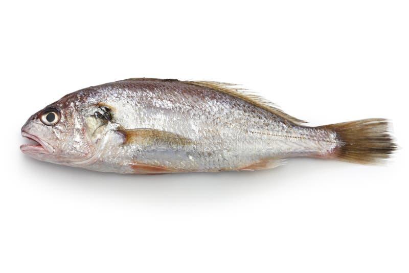 Peixes do grasnador isolados sobre imagem de stock royalty free