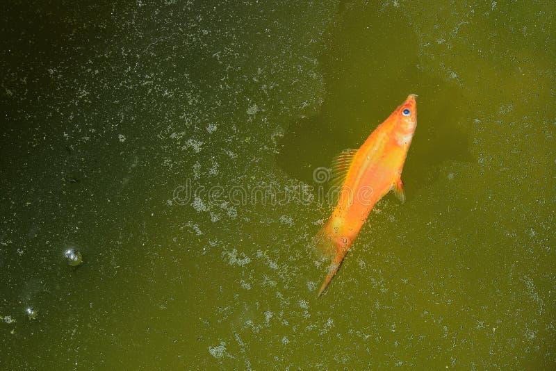 Peixes do Guppy inoperantes e flutuador em águas residuais fotografia de stock royalty free