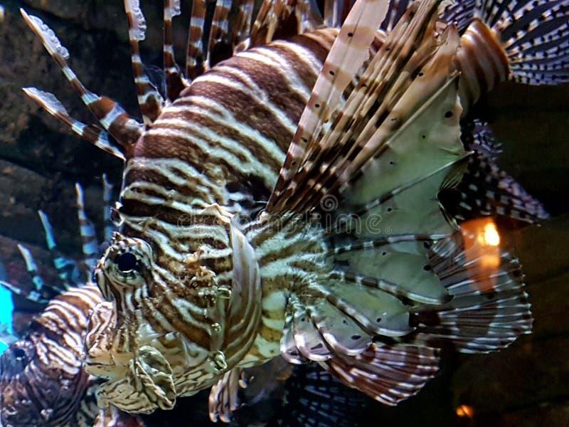 Peixes do leão imagens de stock