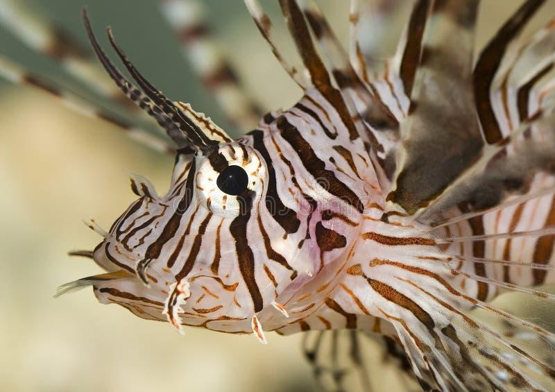 Peixes do leão imagem de stock