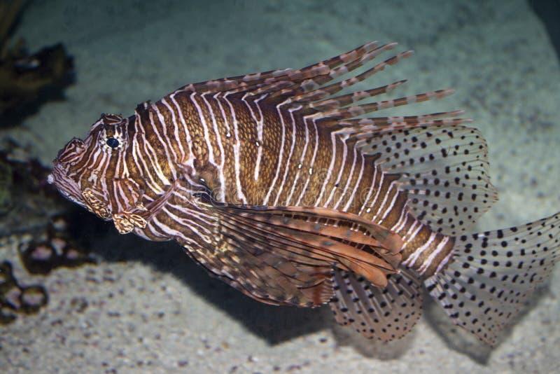 Peixes do leão do aquário imagem de stock