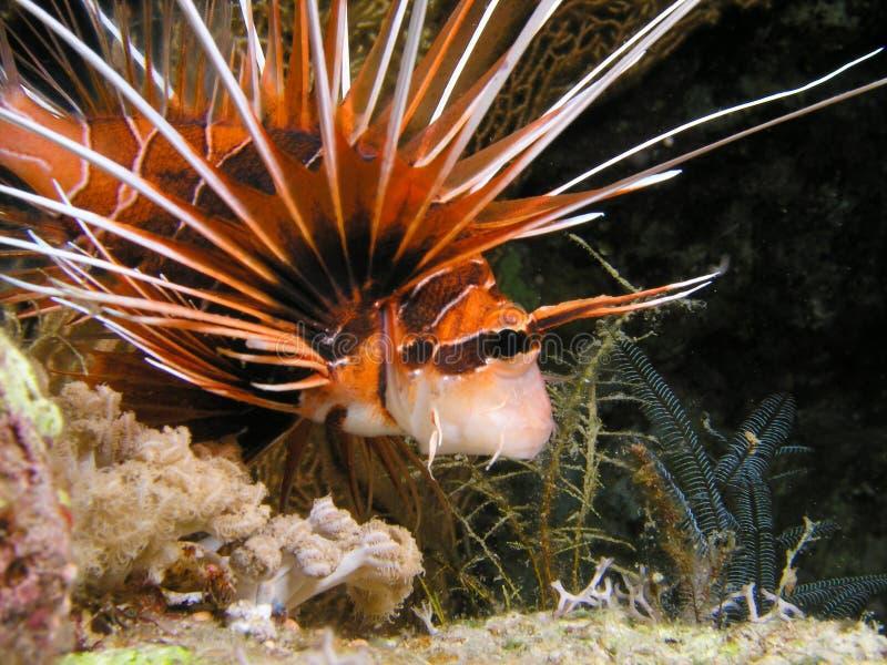 Peixes do leão do diabo durante o mergulho da noite imagens de stock