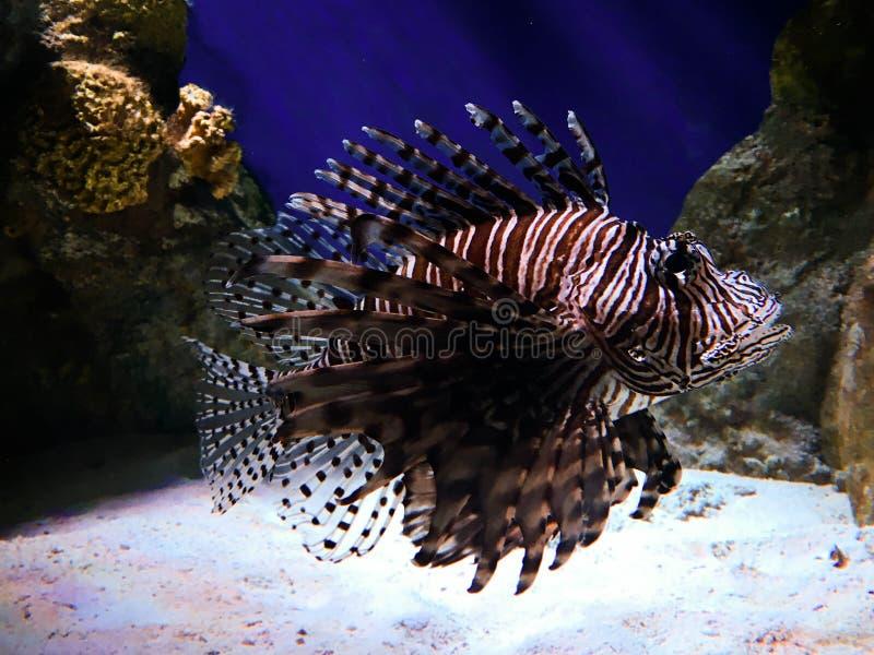 Peixes do leão no aquário imagens de stock