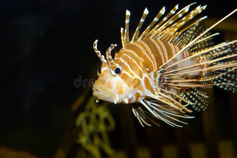 Peixes do leão no aquário fotos de stock royalty free