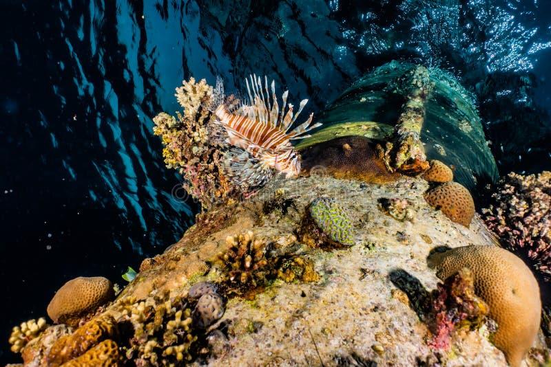 Peixes do leão no Mar Vermelho foto de stock