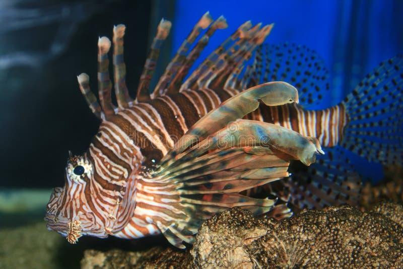 Peixes do leão no Mar Vermelho fotos de stock royalty free