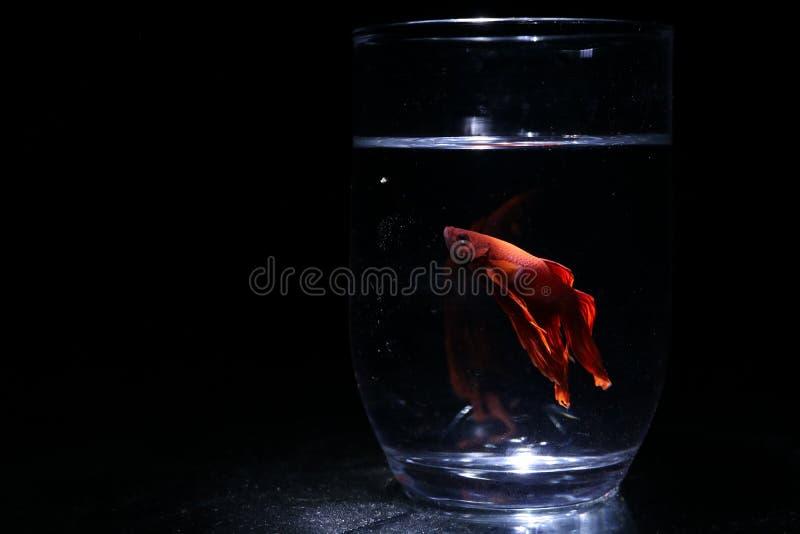 Peixes do lutador fotografia de stock