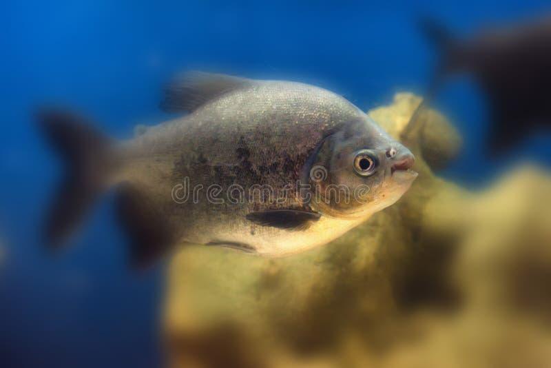 Peixes do macropomum de Tambaqui ou de Colossoma no tanque imagem de stock