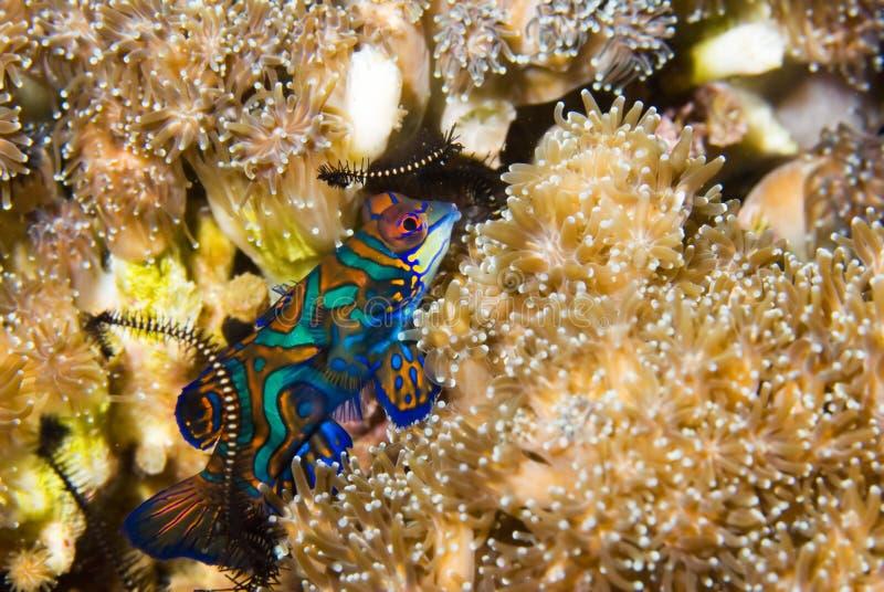 Peixes do mandarino em Ásia imagens de stock