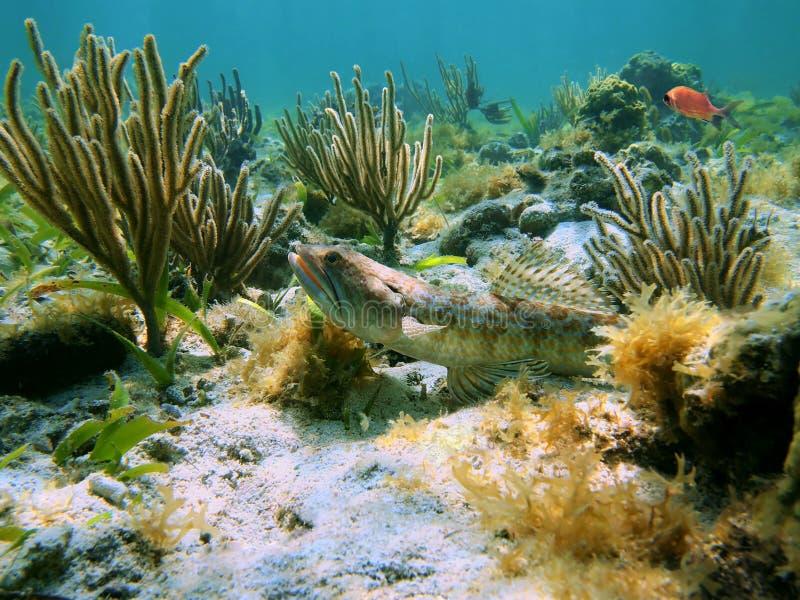 Peixes do mergulhador da areia e gorgonian fotografia de stock royalty free