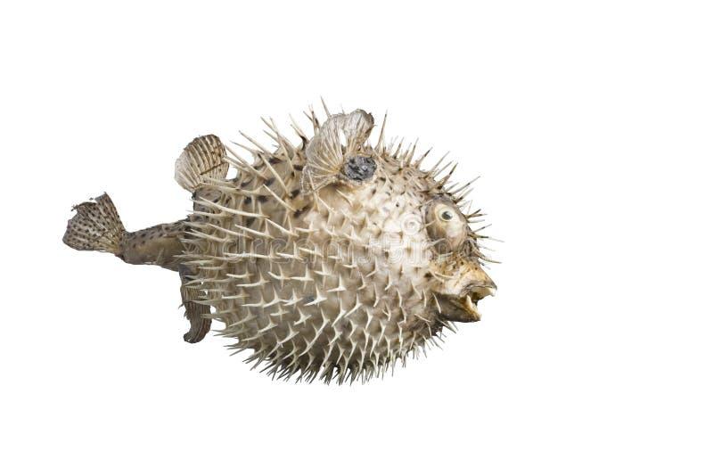 Peixes do ouriço isolados no fundo branco imagens de stock