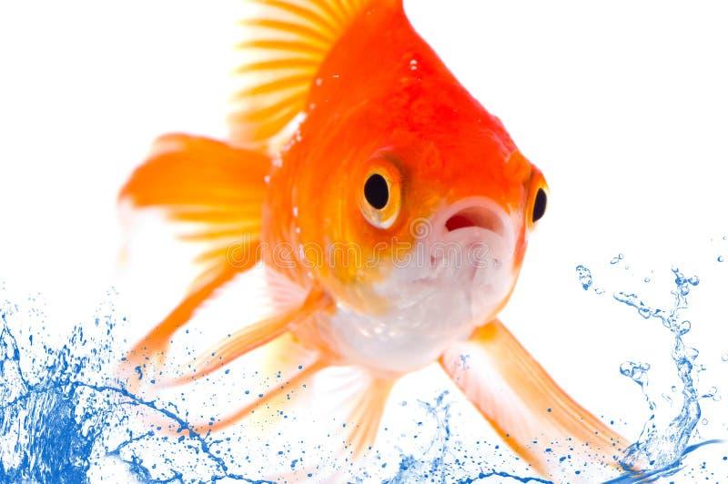 Peixes do ouro. foto de stock royalty free