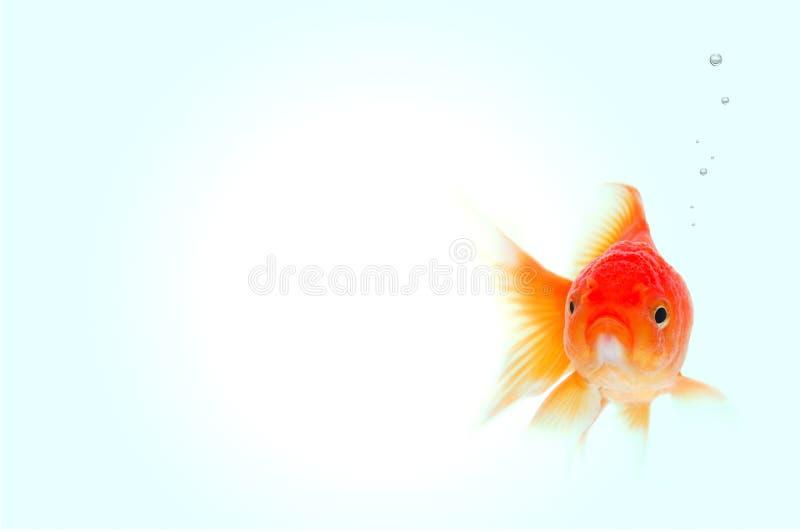 Peixes do ouro