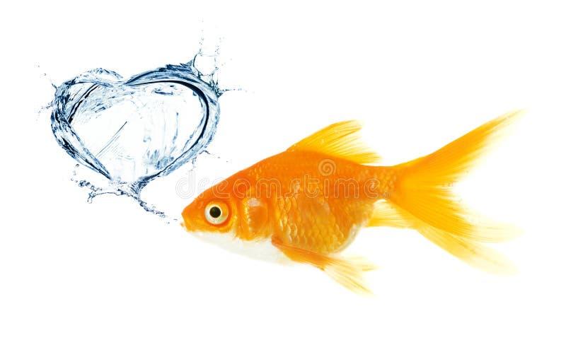 Peixes do ouro. coração feito do respingo fotos de stock