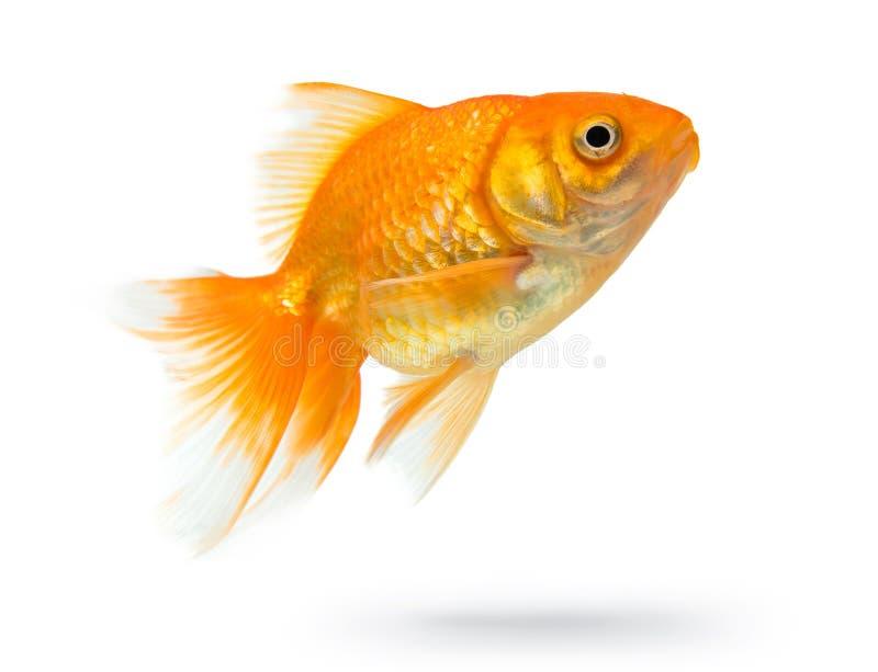 Peixes do ouro isolados no fundo branco fotografia de stock