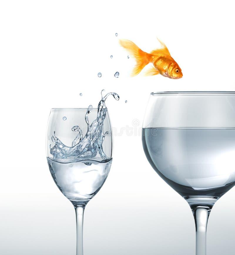 Peixes do ouro que saltam de um vidro da água a um maior. foto de stock