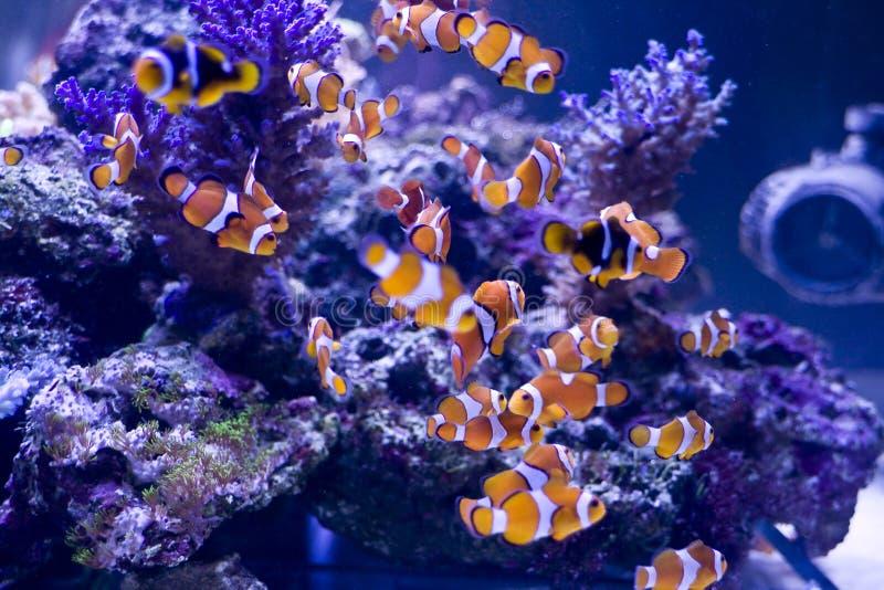 Peixes do palhaço fotografia de stock royalty free