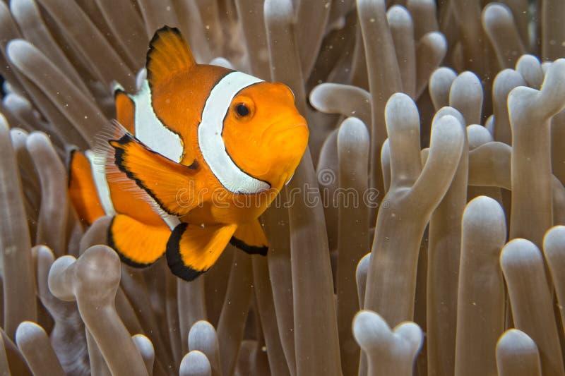Peixes do palhaço ao olhá-lo da anêmona fotografia de stock