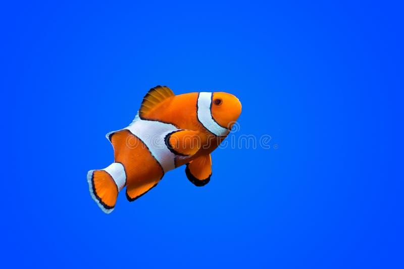 Peixes do palhaço de Amphiprioninae foto de stock
