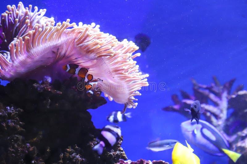 Peixes do palhaço em um recife de corais foto de stock royalty free