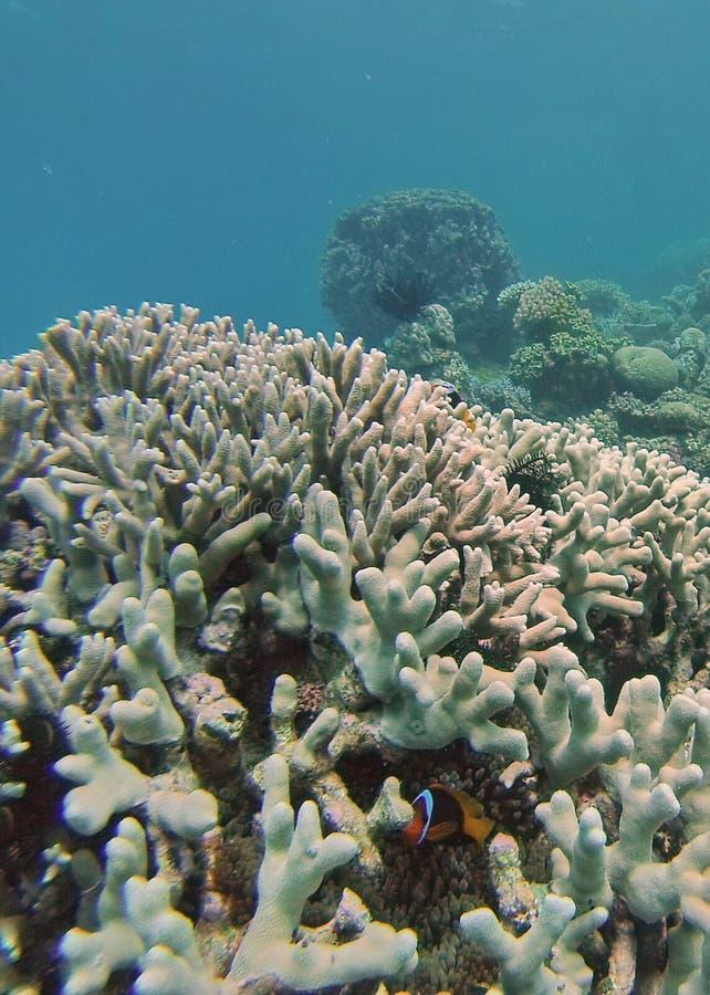 Peixes do palhaço em uma cabeça coral no grande recife de coral imagens de stock